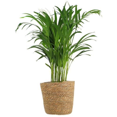 Grandes plantes PALMIER