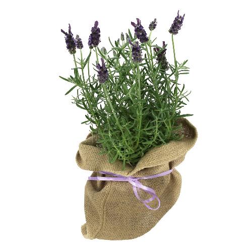 plantes et arbustes lavande en pot sac de jute livraison express florajet. Black Bedroom Furniture Sets. Home Design Ideas