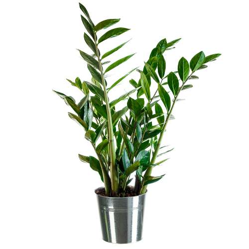 Plantes et arbustes zamioculcas pot en zinc for Plantes et arbustes