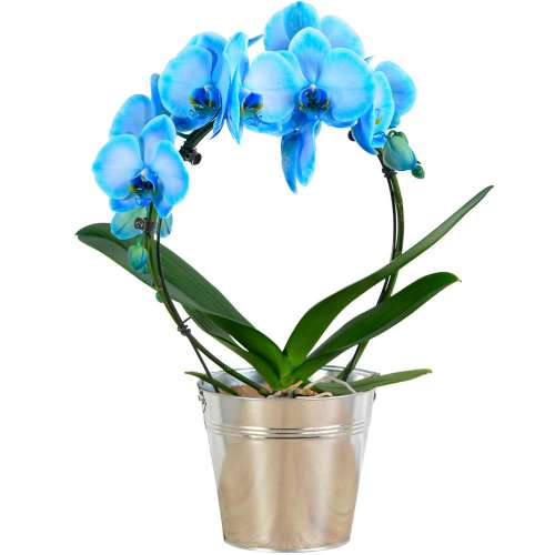 Orchidée ORCHIDEE BLEUE