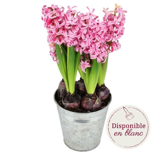 Plante verte & fleurie TRIO DE JACINTHES ROSE