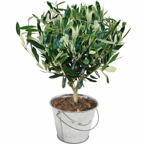Plantes et Arbustes OLIVIER