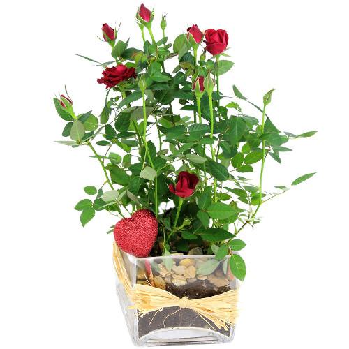 Plante fleurie GALANTERIE