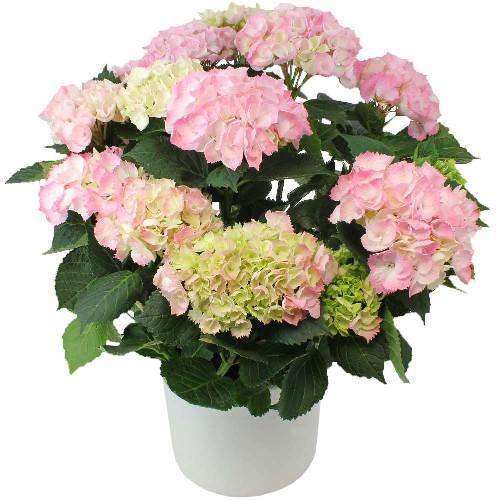 Plantes et Arbustes HORTENSIA ROSE