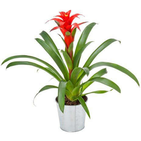 guzmania plante livraison en express florajet. Black Bedroom Furniture Sets. Home Design Ideas