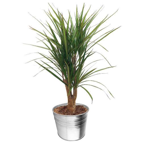 Grandes plantes DRACENA MARGINATA