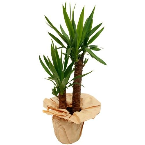 yucca 2 pieds plante verte livraison express florajet. Black Bedroom Furniture Sets. Home Design Ideas